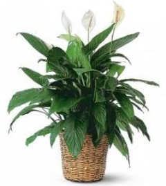 Where to rent PEACE LILY 4FT in Spartanburg SC